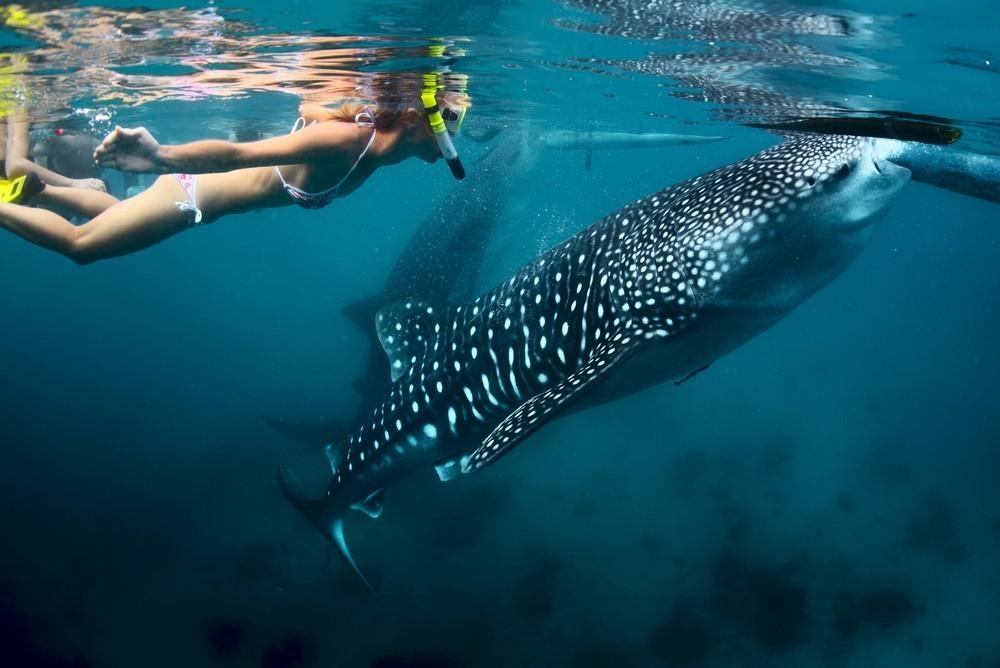 Whale shark Mahe Seychelles